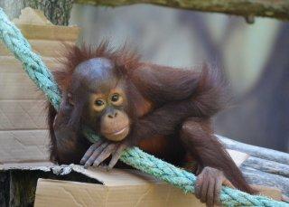 zoodk_orangutanka_tessa_simona_jirickova